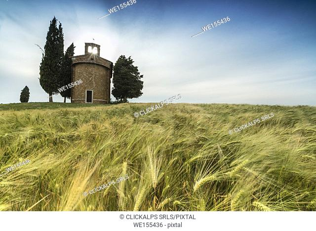 Fields of ears of corn on the gentle green hills of Val d'Orcia province of Siena Tuscany Italy Europe