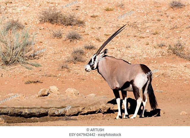 common Gemsbok, Oryx gazelle in Kalahari desert, Kgalagadi transfontier park, South Africa, safari wildlife and wilderness