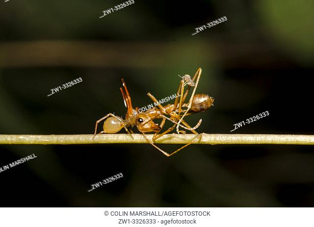 Ant-mimic Crab Spider (Amyciaea sp, Thomisidae family) attacking Weaver Ant (Oecophylla sp, Formicidae family) on stem, Klungkung, Bali, Indonesia