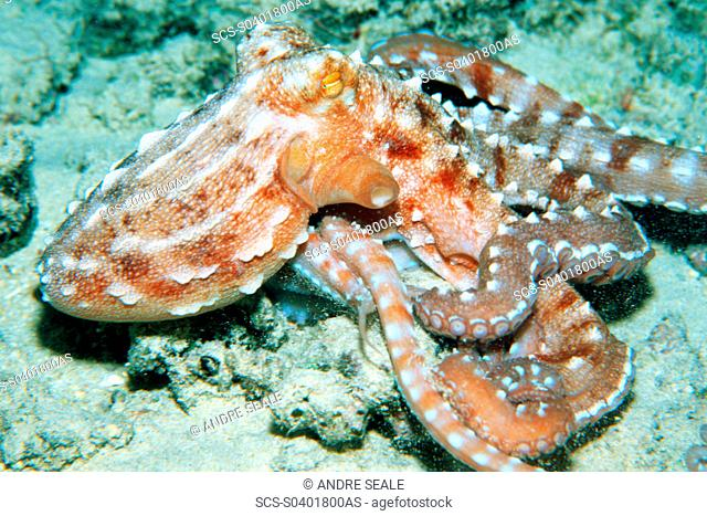 Ornate octopus, at night, Octopus ornatus Oahu, Hawaii N Pacific
