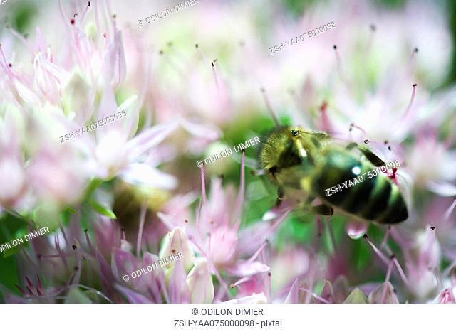 European dark bee apis mellifera mellifera gathering pollen from pink flowers