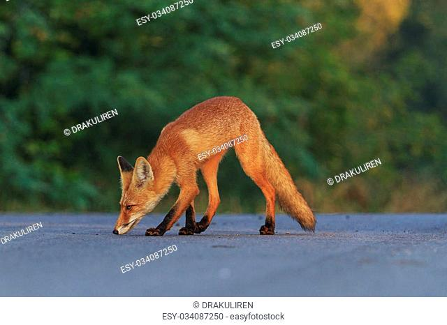 Red fox in search of food, a wild animal on the road
