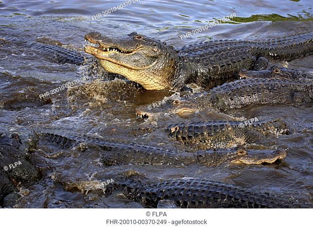 American Alligator Alligator mississipiensis adults, group feeding in water, Florida, U S A