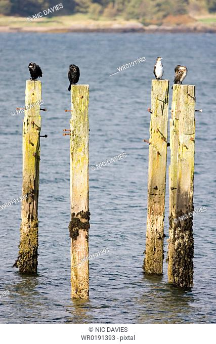 Shag Phalacrocorax aristotelis on old pier Shags use the old pier at Salen Isle of Mull, throughout the year from which to forage in the Sound of Mull Hebrides