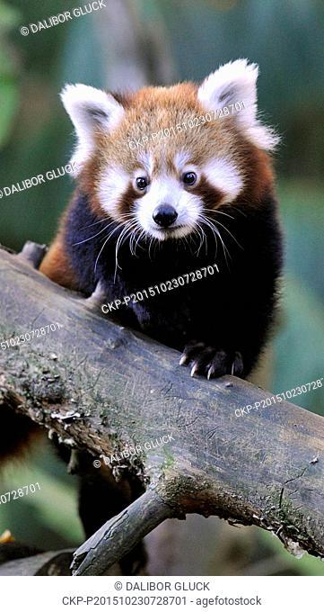 Red panda cub sits in a tree in the zoo Zlin, Czech Republic, October 23, 2015. (CTK Photo/Dalibor Gluck)