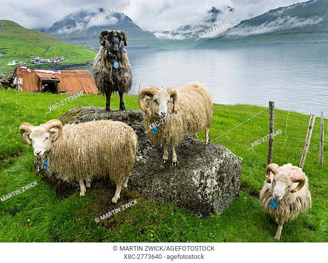 Rams of the local breed Faroes near Elduvik located at fjord Funningsfjordur. The island Eysturoy one of the two large islands of the Faroe Islands in the North...