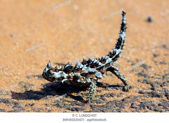 moloch, horny devil, thorny devil (Moloch horridus), in the outback, Australia, Western Australia, Canning Stock Route