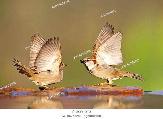 house sparrow Passer domesticus, male and female sitting face to face quarreling at the stone shore of a water place, Germany, Rhineland-Palatinate