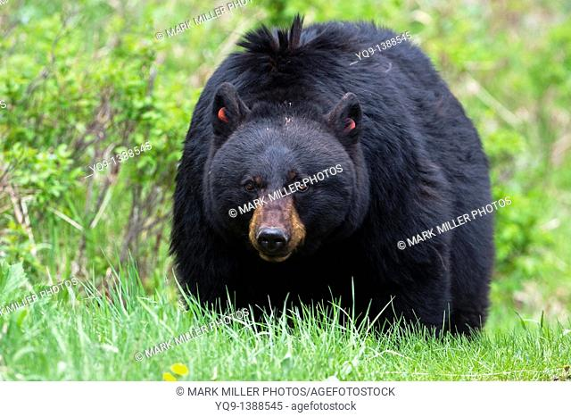 Rosie- A Popular Black Bear in Yellowstone National Park