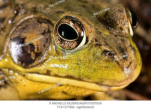 Green frog, Rana clamitans, native to eastern half of the United States and Canada