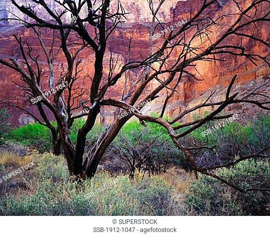 Catclaw Tree Snags Grand Canyon National Park Arizona