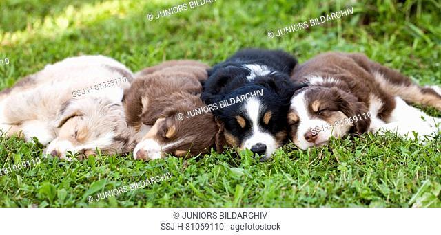 Miniature Australian Shepherd. Four puppies sleeping on a meadow. Germany