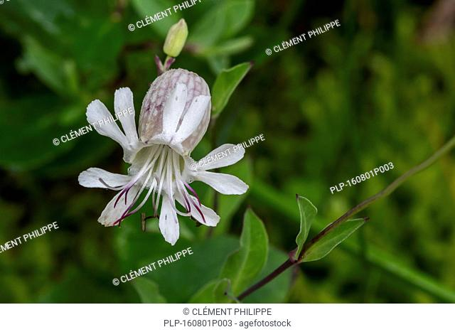 Bladder campion / maidenstears (Silene vulgaris) in flower