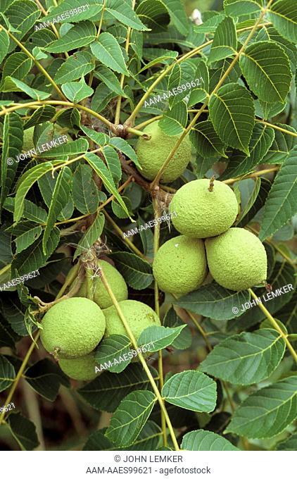 Black Walnuts developing on Branch (Juglans nigra), Dayton, Ohio