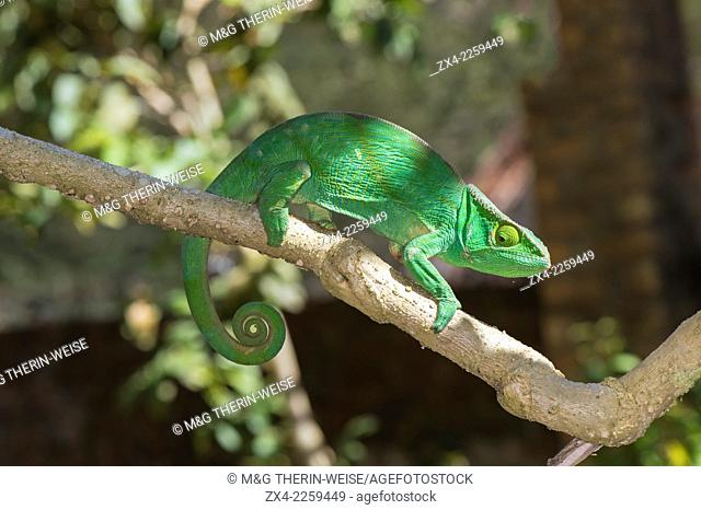 Parson's chameleon (Calumma parsonii), Madagascar