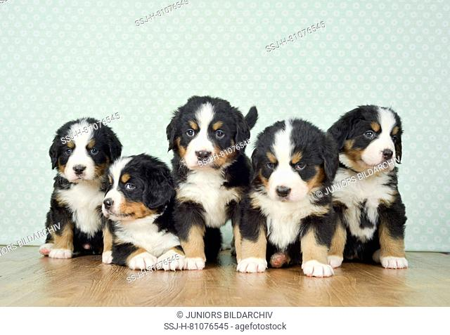 Bernese Mountain Dog. Five puppies (5 weeks old) standing and sitting next to each other. Studio picture. Germany