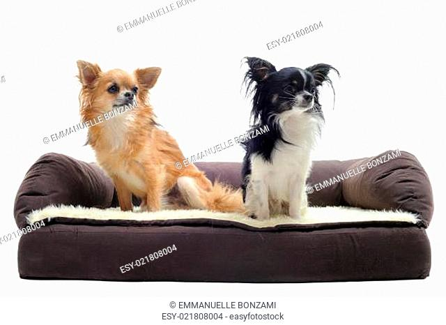 chihuahuas on sofa