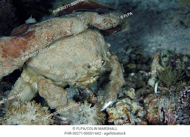 Sleepy Sponge Crab (Dromia dormia) adult, with sponge on back for camouflage at night, Alor Island, Alor Archipelago, Lesser Sunda Islands, Indonesia, November
