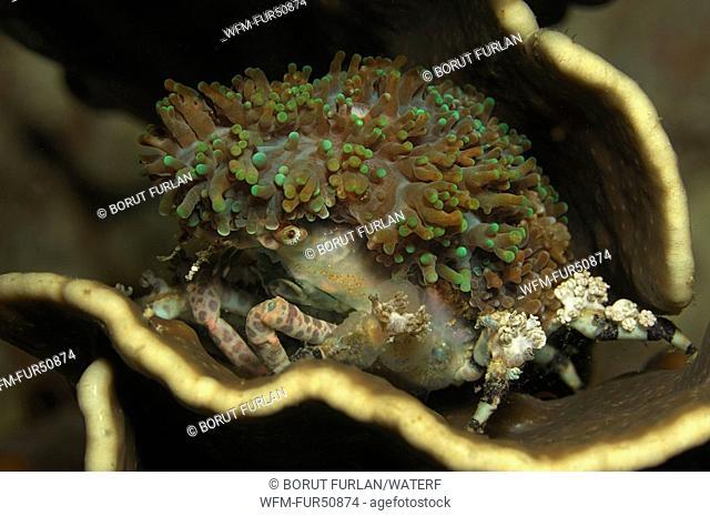Decorater Spider Crab carry Anemone, Cyclocoeloma tuberculata, Alor, Lesser Sunda Islands, Indo-Pacific, Indonesia