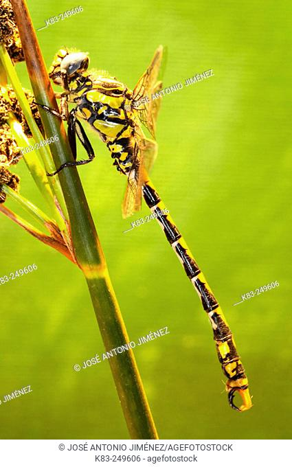 Golden ring dragonfly (Cordulegaster boltonii)