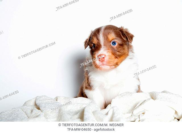 young Australian Shepherd Puppy