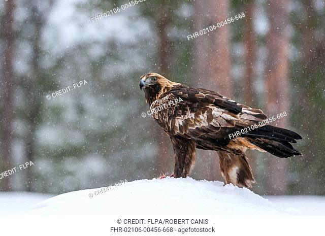 Golden Eagle (Aquila chrysaetos) adult, feeding at carcass in snow during snowfall, Northern Finland, February
