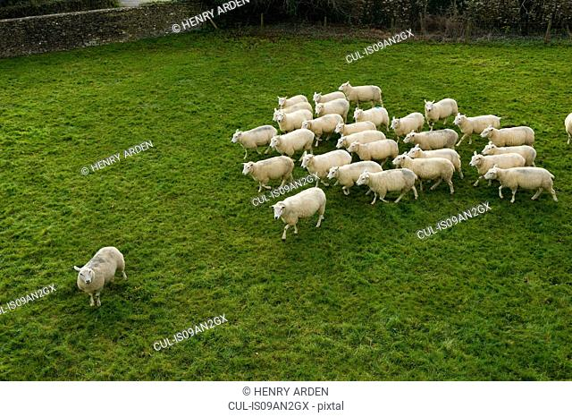 Flock of sheep following single sheep