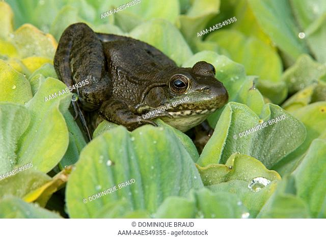 Green Frog climbing over plant (Rana clamitans). Dakota County, Minnesota. Late September