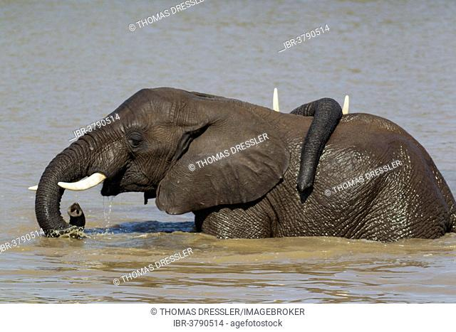 African Elephants (Loxodonta africana), two bulls in the Shingwedzi River, Kruger National Park, South Africa