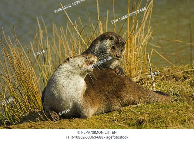 European Otter Lutra lutra adult male and female, playing on riverbank, England