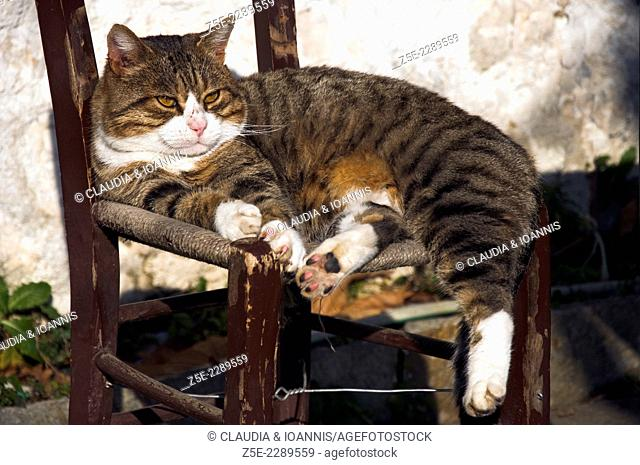 Tomcat with scuffed nose sunbathing on old chair