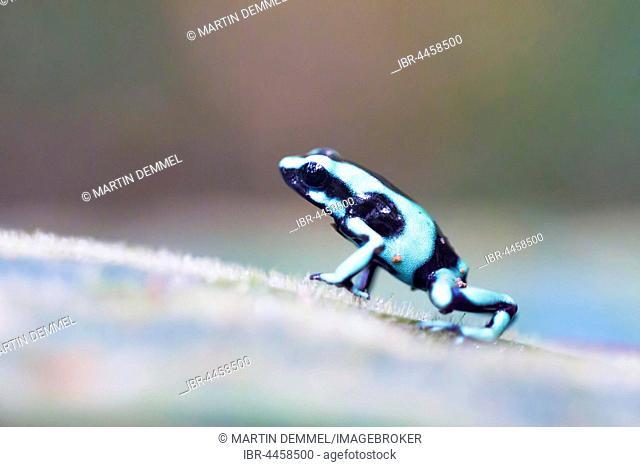 Green and black poison dart frog (Dendrobates auratus), Quepos, Puntarenas Province, Costa Rica