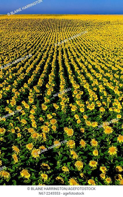 Sunflower fields, Grant (near the Colorado state line), near Goodland, Western Kansas USA
