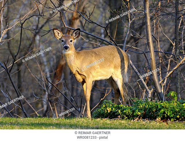 White tailed deer invading a Toronto backyard garden on a spring evening