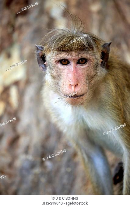 Red Monkey, Macaca sinica), adult portrait, Yala Nationalpark, Sri Lanka, Asia