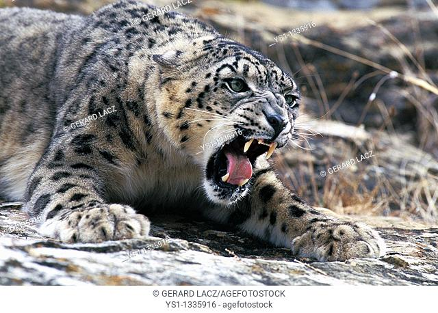 SNOW LEOPARD OR OUNCE uncia uncia, ADULT SNARLING, THREAT POSTURE