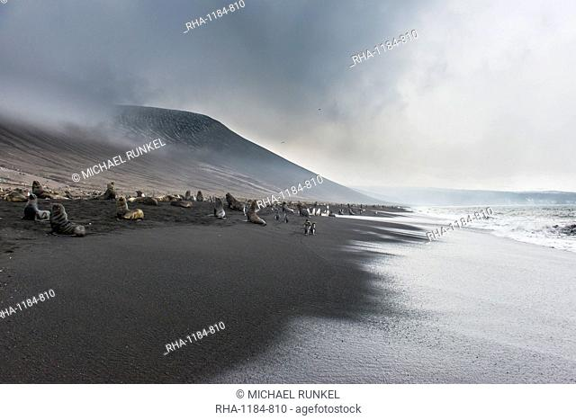 Antarctic fur seals (Arctocephalus gazella) and a huge Chinstrap penguin colony (Pygoscelis antarctica) on a black volcanic beach, Saunders Island