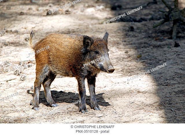France, Burgundy, Yonne. Area of Saint Fargeau and Boutissaint. Slab season. Wild boar