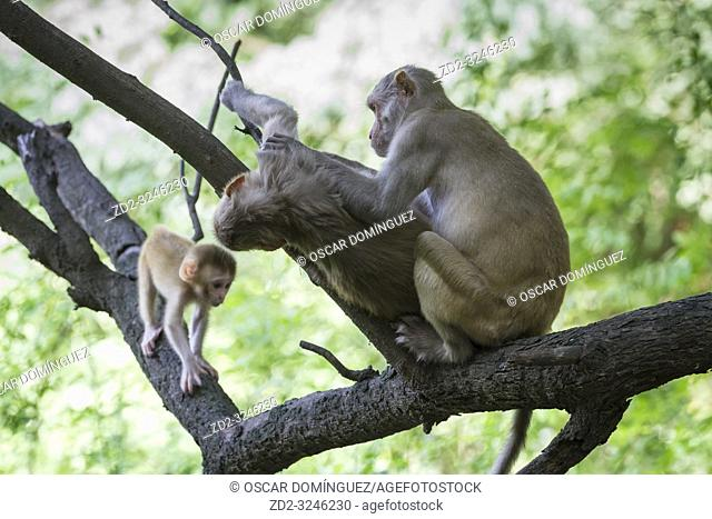 Rhesus Monkey (Macaca mulatta), family group grooming. Keoladeo National Park. Bharatpur. Rajasthan. India