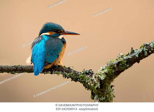 Kingfisher perched on lichen covered branch