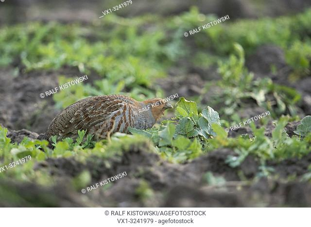 Grey partridge ( Perdix perdix ) croutching between herbs on a field, eating seeds