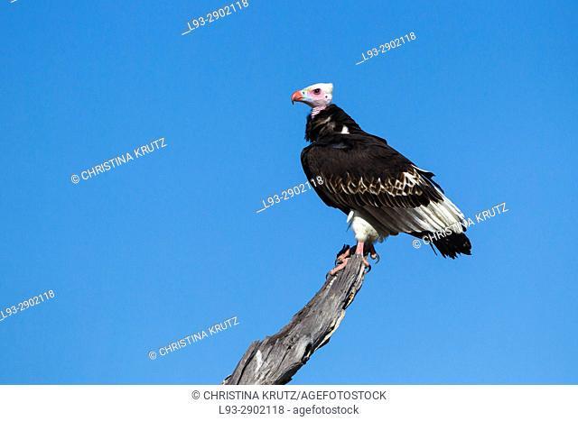 White-headed Vulture (Trigonoceps occipitalis), Botswana, Africa