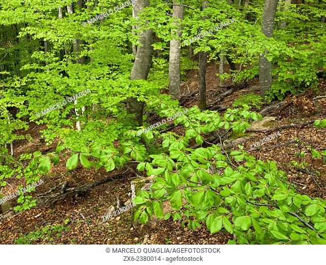 Beech forest in springtime. Montseny Natural Park. Barcelona province, Catalonia, Spain