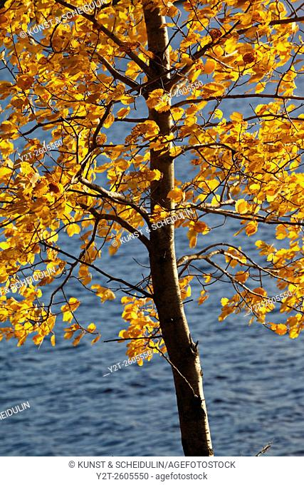 The autumn colored leaves of a birch tree are fluttering in the wind in front of a lake