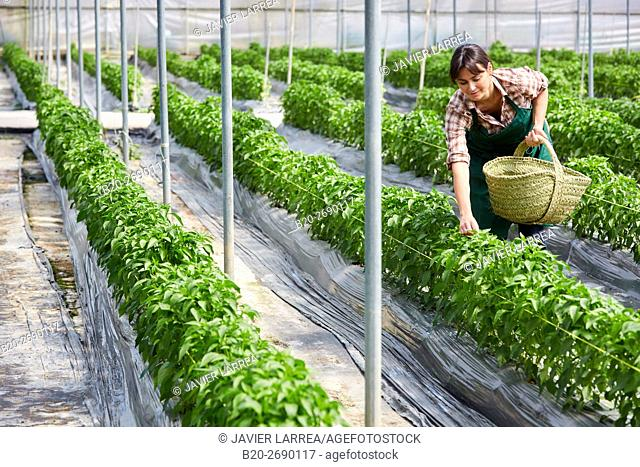 Farmer, Green chillies farming, Greenhouse, Agricultural field, Funes, Navarre, Spain