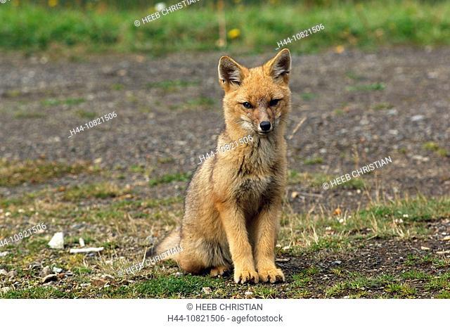 Argentine Gray Fox, fox, Pseudalopex griseus, Parque Nacional, Nahuel Huapi, national park, Puerto Frias, Lake Distric
