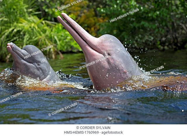 Brazil, Amazonas State, Manaus, Amazon river basin, along Rio Negro, Amazon River Dolphin, Pink River Dolphin or Boto (Inia geoffrensis)