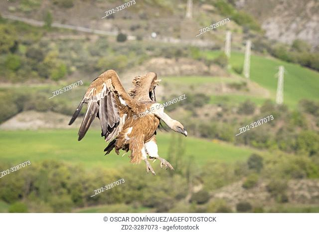 Griffon Vulture (Gyps fulvus) coming in to land with a power line in the background. Lleida province. Catalonia. Spain