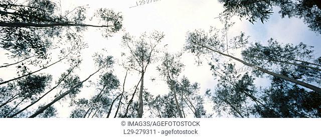 Tasmanian Blue Gum (Eucalyptus globulus)
