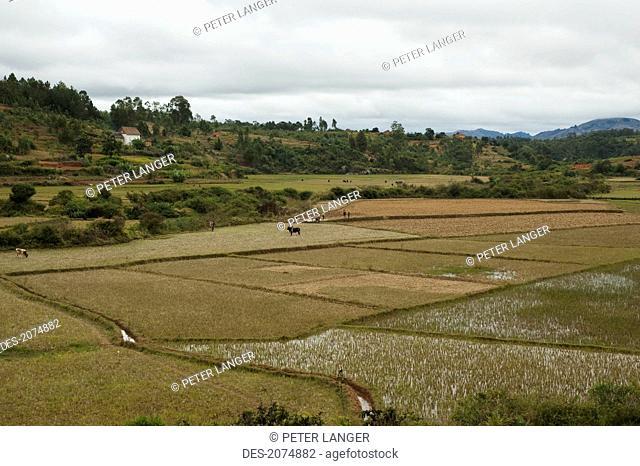 Rice Fields Near Ambositra, Fianarantsoa Province, Madagascar
